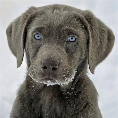 gray lab puppies grey labrador retriever the beagle aka adorbs