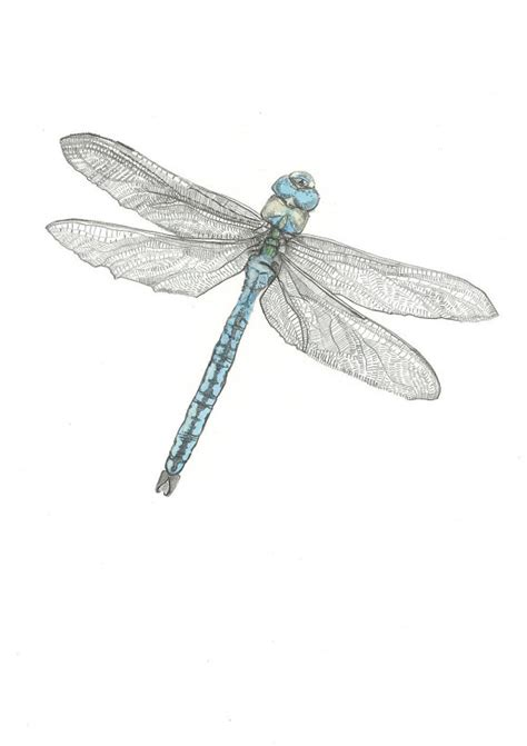 a5 print the emperor dragonfly pencil drawing by