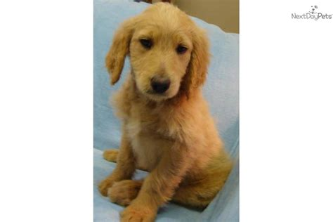 goldendoodle puppy breathing fast goldendoodle puppy for sale near chattanooga tennessee