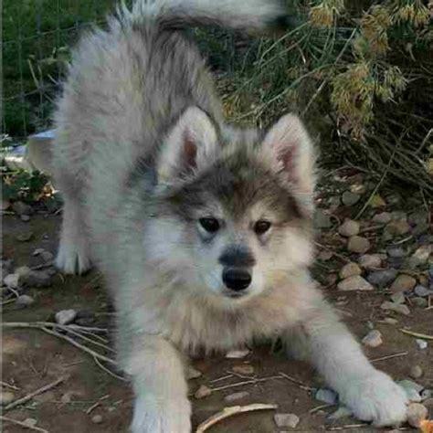 wolf hybrid puppies wolamute pup wolf hybrid malamute dogs i want