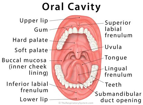 Labeled Diagram Of The Cavity