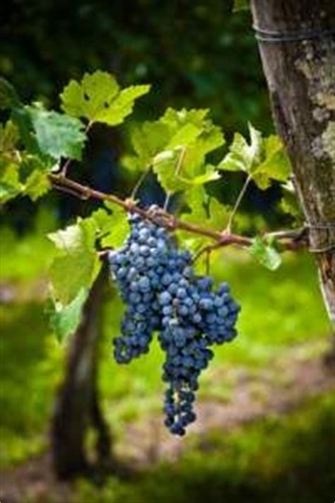1000 images about growing grapes on pinterest grape vines fruit and wine