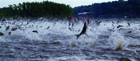 kentucky lake boat rs asian carp to eat or not to eat as a means of