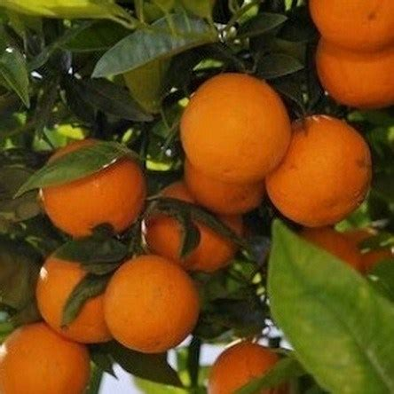 Bibit Jeruk Sunkist Berbuah bibit jeruk sunkist 70 cm jualbenihmurah