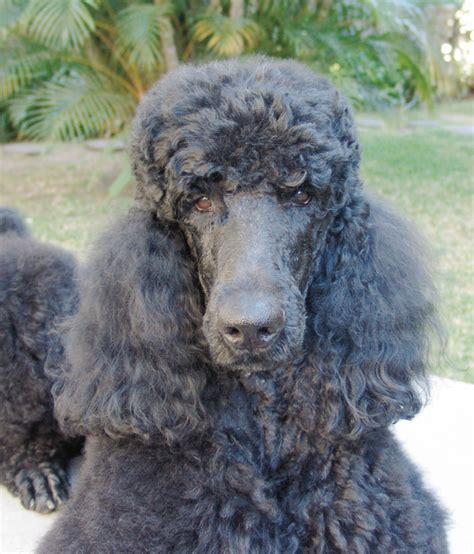 standard poodle puppies for sale florida pin standard poodle breeders dogs puppies for sale daytona florida on