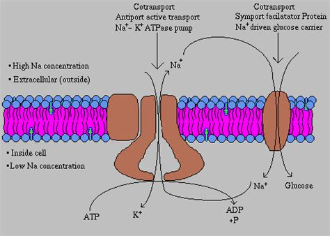 protein transport file protein transport png wikimedia commons