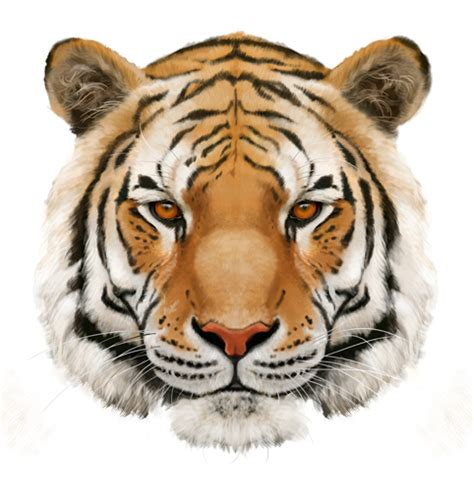 Drawing Ideas by Drawn Tiger Png Pencil And In Color Drawn Tiger