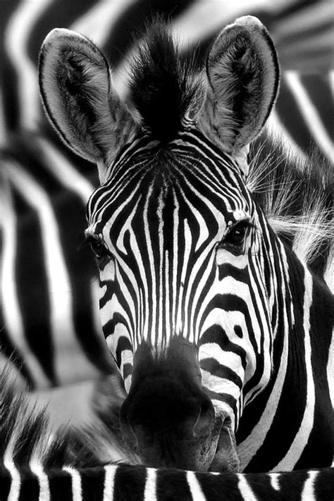 zebra face macro iphone  wallpaper iphone