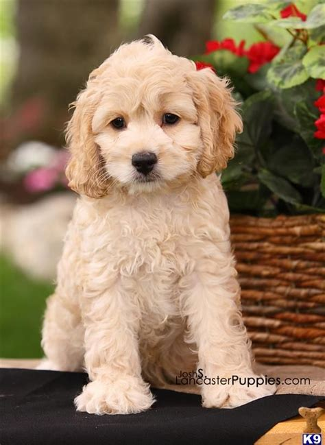 mini doodle cavapoo 30 best cockapoos and other dogs images on
