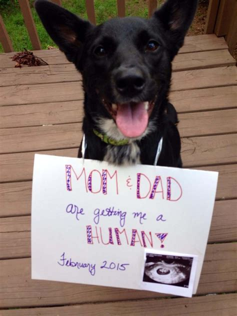 pregnancy announcements with dogs pregnancy announcement with dogs www pixshark images galleries with a bite