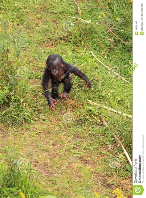 how to to walk on two legs bonobo baby monkey walking on two legs royalty free stock photo image 20236385