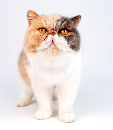 sweetest breeds cat breeds catster autos post