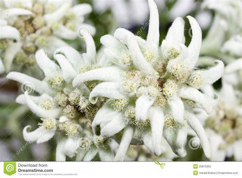 edelweiss bloem oostenrijk de bloeiende bloem van het edelweiss stock afbeelding