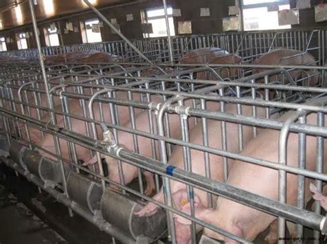 pig housing designs modern systems for pig farrowing management pig farming