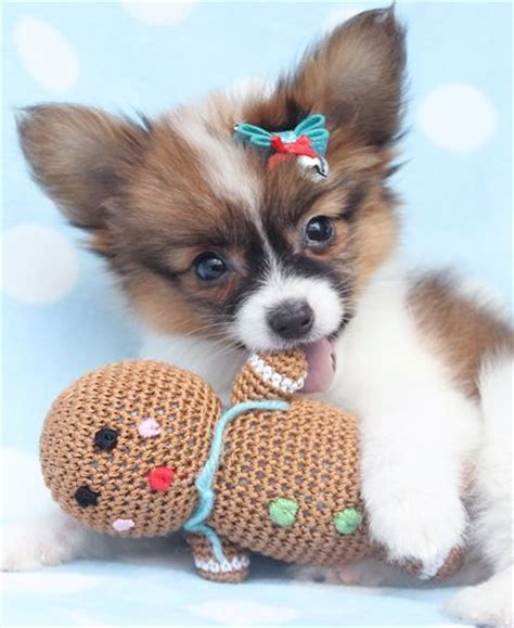 papillon puppies for sale 114 best images about papillon dogs on