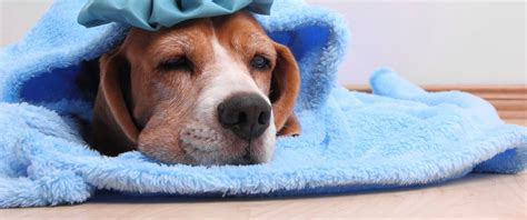 flu florida pet expert steve dale reports on flu in florida from dogs shows