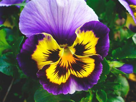 imagenes de flores llamadas pensamientos 191 d 243 nde viven los pensamientos