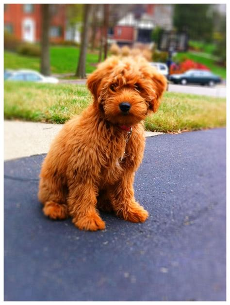 goldendoodle puppy pittsburgh 17 best images about labradoodle ultimate
