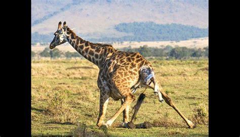 imagenes de jirafas con reflexion 161 conmovedor jirafa alumbra a cr 237 a y le ense 241 a a caminar