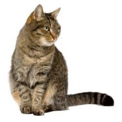 house cats the most common cat breed