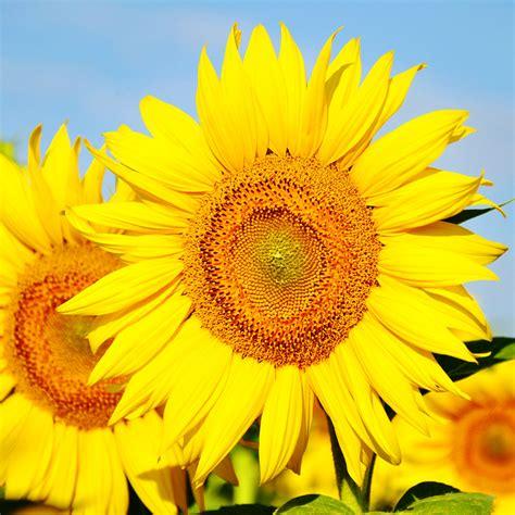 garten pflanzen ohne gießen sonnenblumen im garten