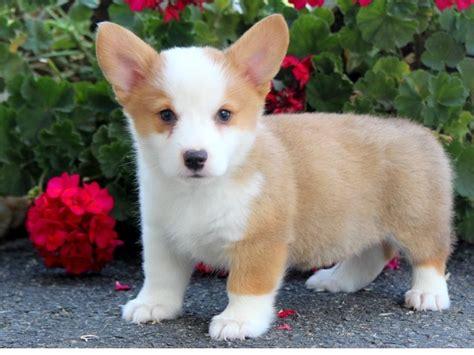 corgi puppies adoption pembroke corgi puppies for sale adoption posot class