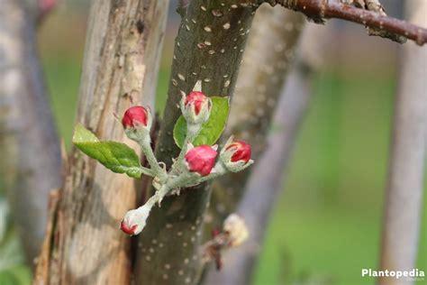 apfelbaum pflanzen wann zierweide schneiden harlekinweide zierweide 39 hakuro