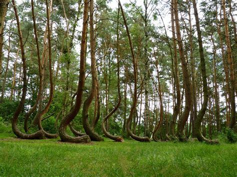 crooked forest poland travel trip journey crooked forest gryfino poland