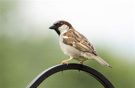 D 233 Couverte Du Promeneur D Oiseau Oiseaux Moineaux Moineaux On Photo Oiseaux