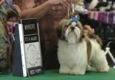 shih tzu top knot accessories shih tzu tops and top knot on
