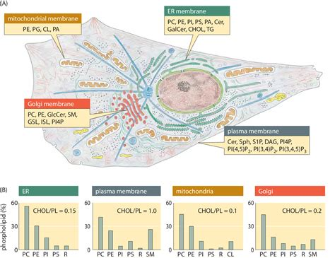 4 proteins found in cell membrane 187 what lipids are most abundant in membranes