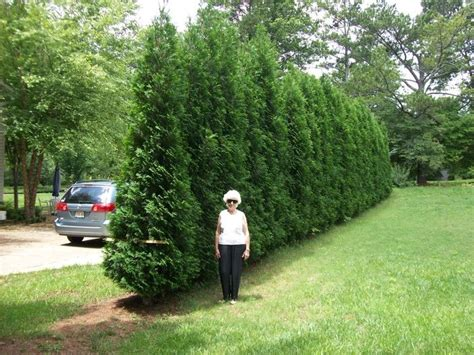 Best Tree To Plant In Backyard by Best 25 Privacy Trees Ideas On Privacy