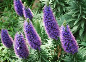 shrub with purple cone shaped flowers pride of madeira later on
