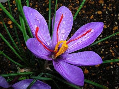 libro la flor del azafrn 伊朗 红色黄金 藏红花 二