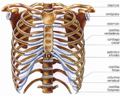 costillas del cuerpo humano mariofer1999 conocimiento del medio