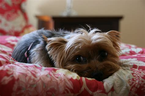 how do yorkies sleep vignette design living with dogs