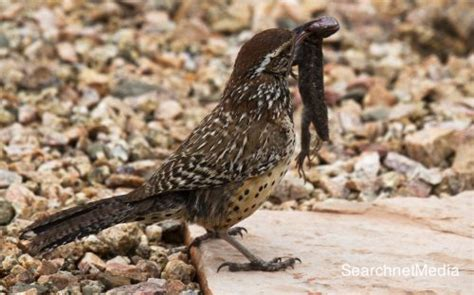 cactus wren facts anatomy diet habitat behavior