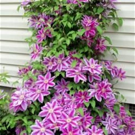 Clematis Dr Ruppel 3549 how when and why to prune your clematis plants