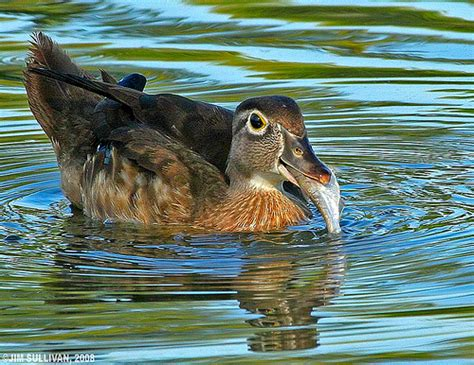 wood duck eating fish by jim sullivan flickr photo