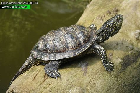 Sk Turtle 37 best images about reptiles family emydidae moerasschildpadden on chicken ponds