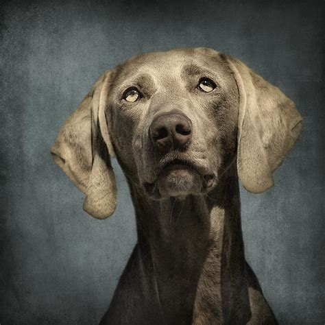 puppy portraits portrait of a weimaraner photograph by wolf shadow photography