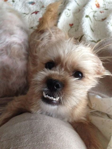shih tzu teeth shorkie tzu breeds picture