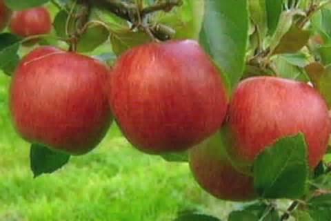 apple australia apples in an orchard abc news australian broadcasting