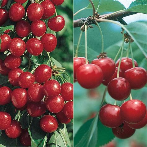 size fruit trees for sale sweet tart cherry tree collection cherry trees stark