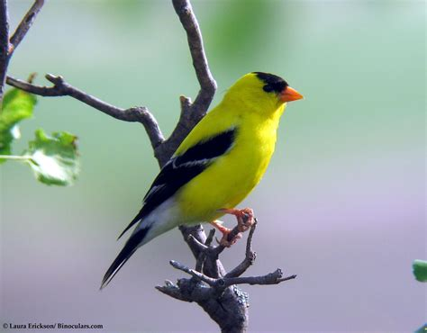 yellow finches www imgkid com the image kid has it