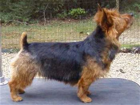 silky terrier and yorkie difference terrier silky terrier difference
