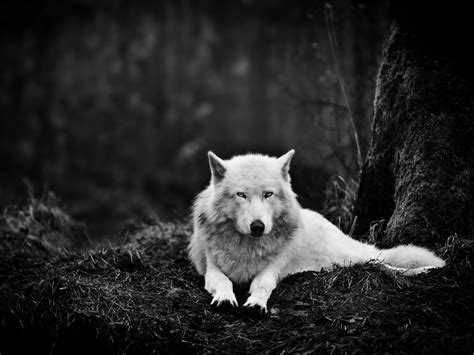 white wolf and black wolf 1600x1200 wallpapers wolf 1600x1200 white wolf in the wild desktop pc and mac wallpaper