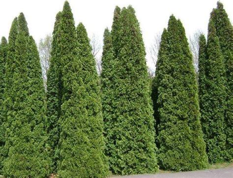 thuya occidentalis medicina integrativa thuja alberi caratteristiche della thuja