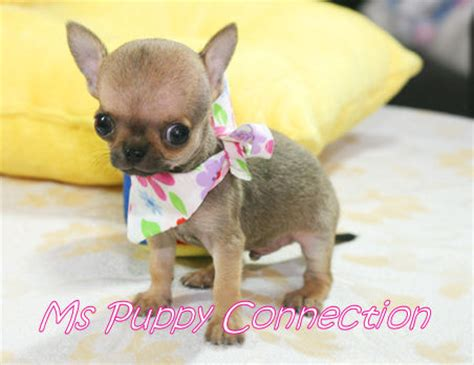 cheap puppies for sale in ny new york teacup puppies for sale chihuahua puppies new york