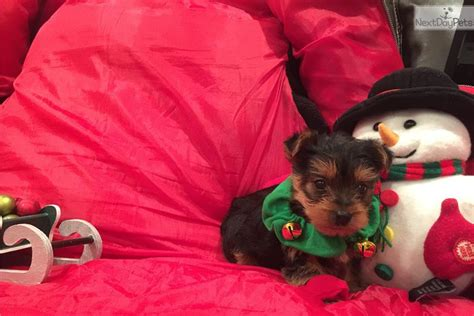 are teacup yorkies hypoallergenic teacup yorkie puppies hypoallergenic terrier yorkie puppy for sale